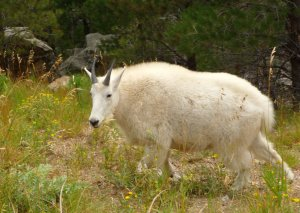 mt-rushmore-mountain-goat