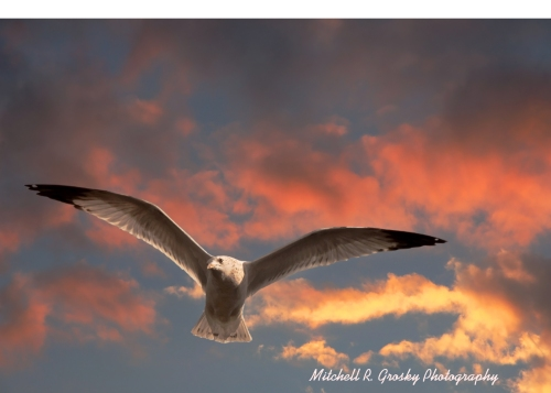seagull-in-sunset1